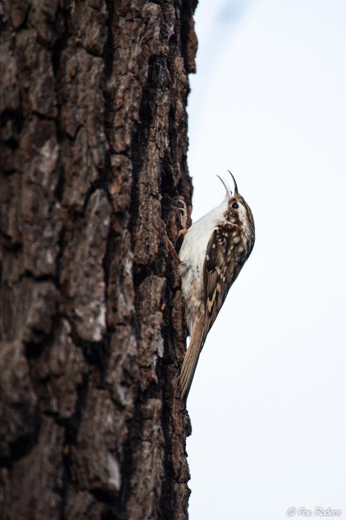 Baumläufer (Certhia brachydactyla)